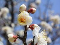 白梅の良い香りが - 風の吹くまま