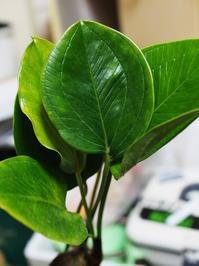 アンスリウム・オバティフォリウム - Blog: Living Tropically