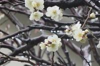 梅の花に冷たい雨が - 光さんの日常