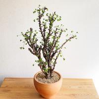 Oxalis gigantea - Bizarre Plants