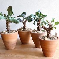 Othonna herrei - Bizarre Plants