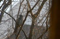 借景のシデの木に春のヒヨドリがやってきました - 生きる歓び Plaisir de Vivre。人生はつらし、されど愉しく美しく