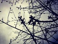 桜の蕾 - NATURALLY