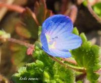おおいぬのふぐり - Spring PHOTO