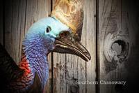 ヒクイドリ:Southern Cassowary - 動物園の住人たち写真展(はなけもの写眞店)