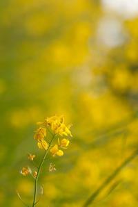 菜の花 - かたくち鰯の写真日記2