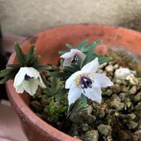 春を告げる花 - 物欲が止まらない