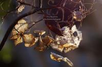 冬の紫陽花 - It's only photo