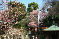 上野花園神社の梅の花 - お散歩写真     O-edo line