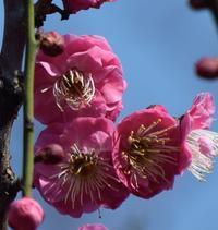 福岡舞鶴公園の梅花 - 信仙のブログ