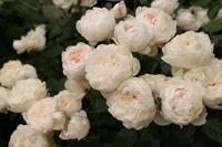 グラミスキャッスルを剪定 - my small garden~sugar plum~