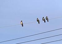 ・コクマルガラス - 鳥見撮り