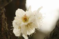 湯島天神「梅まつり」やはり白加賀でしょう - みるはな写真くらぶ