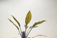 """Homalomena sp. """"Ranau"""" - PlantsCade -2nd effort"""