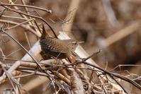 ミソサザイ - くろせの鳥