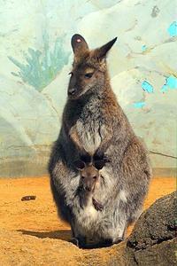 ベネットアカクビワラビーの赤ちゃん - 動物園放浪記