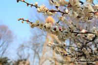 向島百花園「梅まつり~梅花彩る江戸花屋敷~」 - 自然のキャンバス