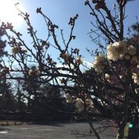 #588〜梅の花〜 - カメラを相棒に