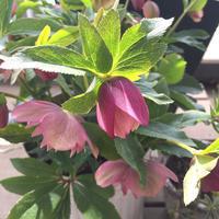 クリスマスローズ - kukka  kukka