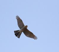 頭上にハイタカも飛んできた・・・ - 一期一会の野鳥たち