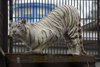 2018.2.3 宇都宮動物園☆ホワイトタイガーのシラナミ姫 <その5>【White tiger】 - 青空に浮かぶ月を眺めながら