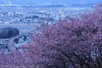 第20回まつだ桜まつり 河津桜 - photograph3