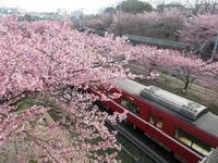 【河津桜を見に行って来ました】 - お散歩アルバム・・春日和バラ日和