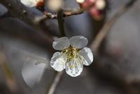 梅が咲いたよ、ぼけもあるよ - (=^・^=)の部屋 写真館