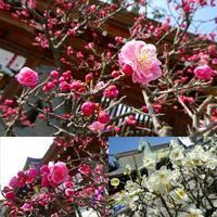梅の花 - NATURALLY