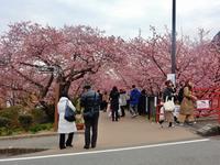 河津桜が見頃を迎えています 。 - 白壁荘だより  天城百話