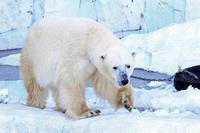 残雪の上野動物園~ホッキョクグマ「イコロ」とアジアゾウ「アティ」 - 続々・動物園ありマス。