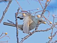 センダンの木に集まるヒヨドリ - 鳥撮りのままに