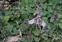 THE DEAD-NETTLE FAIRY - Fiore Spazio 花便り
