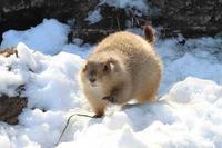 雪の中のどすこいプレーリードッグ - 続々・動物園ありマス。
