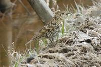 少し近づいたトラツグミ - 近隣の野鳥を探して