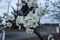 梅の花咲く - 田舎もんの電脳撮影日記
