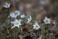 節分草とコラボ - 詩輝彩物語