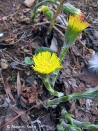 フキタンポポ(蕗蒲公英) - 草花と自然Blog