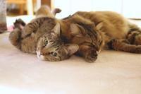 撮りにくいヘソ天 - きょうだい猫と仲良し暮らし