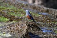 イソヒヨドリ - 野の鳥  撮る録 in湘南