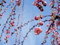 ももの節句にうめの花 * fleur de prunier au jour de celle de pêcher - ももさへづり*うた暦*Cent Chants d' une Chouette