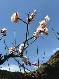 わが家の杏の花と梅の花 - Pushpin Diary(L.J.Style Book)