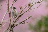 ヨシガモ♂の羽ばたき - あだっちゃんの花鳥風月