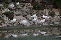 沖縄の鳥クロツラヘラサギ初見Byヒナ - 仲良し夫婦DE生き物ブログ