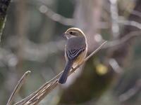 森林科学園のモズ - コーヒー党の野鳥と自然 パート2