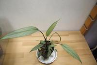 "Homalomena sp. ""Pendang"" - PlantsCade -2nd effort"