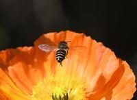 ミツバチとポピー&菜の花 - zorbaの野鳥写真と日記