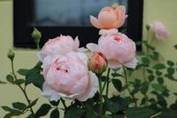 アンブリッジローズの剪定 - my small garden~sugar plum~