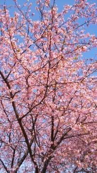地元の河津桜 - てんねん生活 ARAKOKI