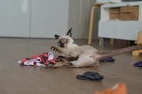 みどちゃん、術後服卒業。 - タイ猫とお昼寝。